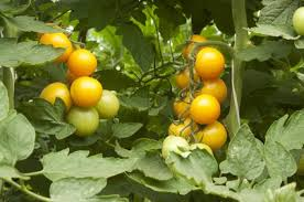 Tomate cerise Golden Nugget